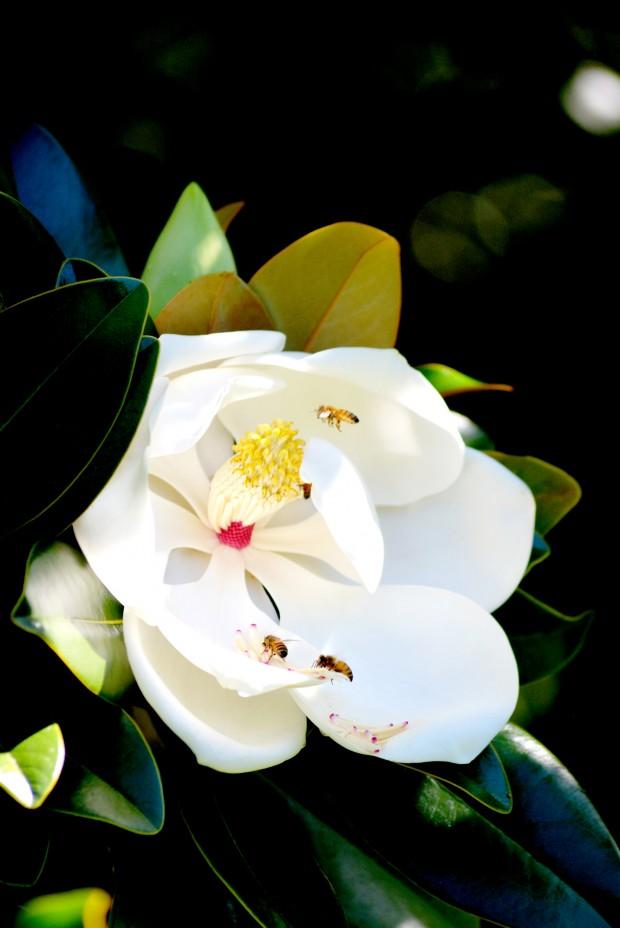 Magnolia_2E