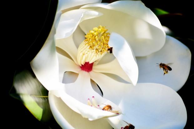 Magnolia_5E