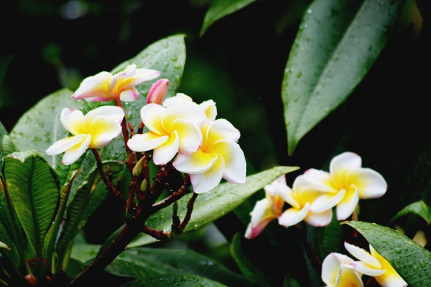 Plumerias_White_Yellow_1E