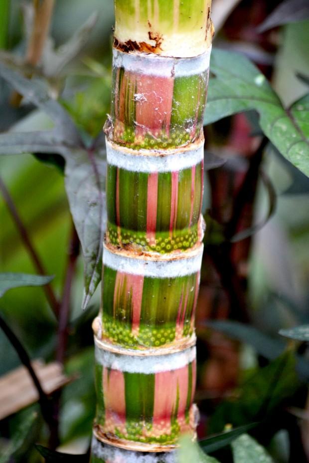 Sugarcane_2E