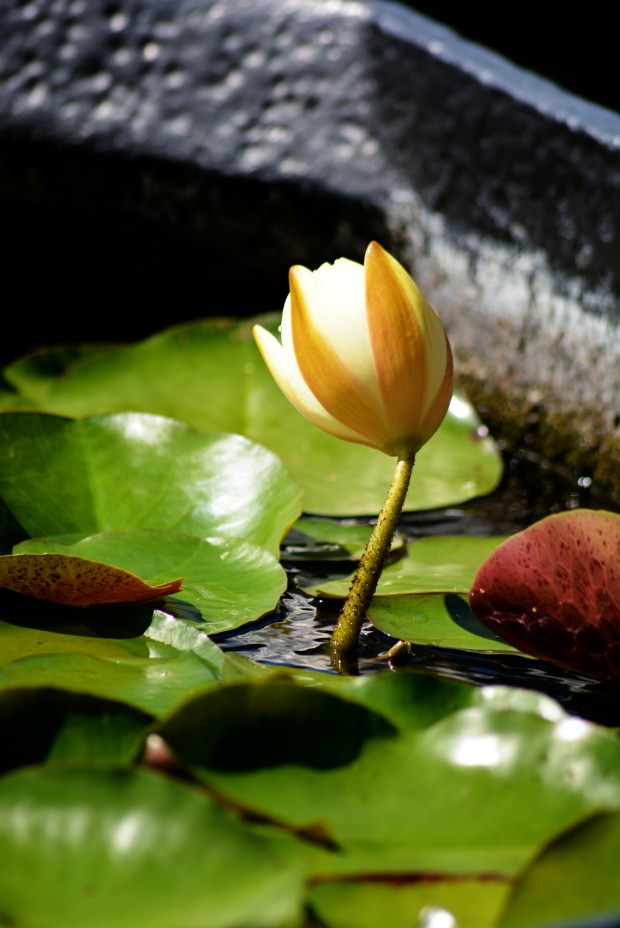 Water_Lily_1E