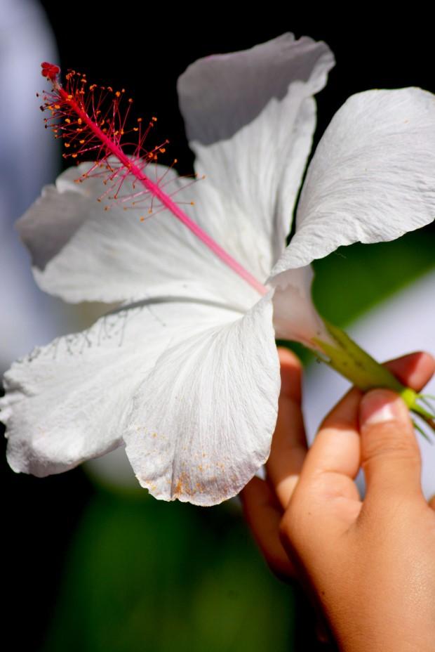 White_Hibiscus_3E